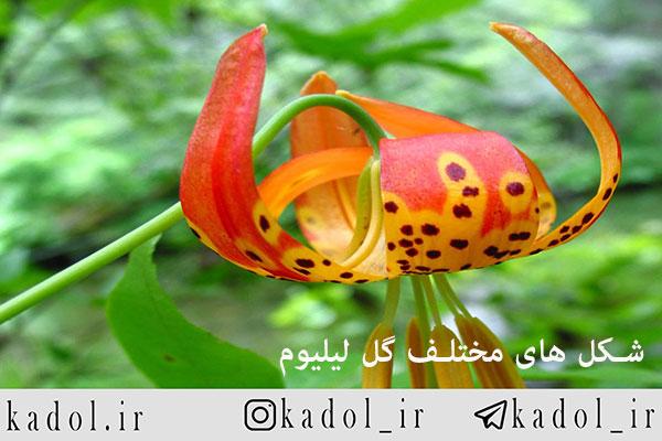 شکل های مختلف گل لیلیوم