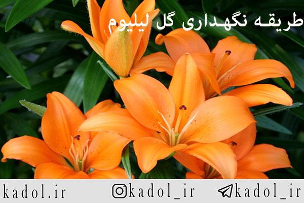 آموزش کاشت و نگهداری گل لیلیوم