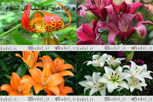 نژادهای مختلف گل های لیلیوم