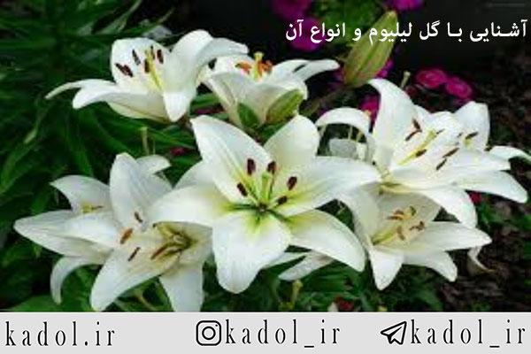 آشنایی با گل لیلیوم و انواع آن