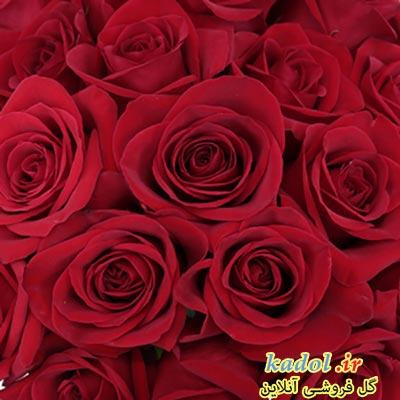 فروش عمده گل رز قرمز هلندی