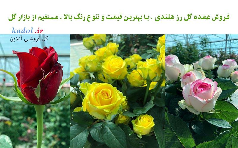 فروش گل رز هلندی