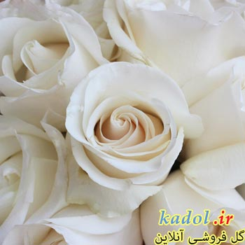 فروش عمده گل رز شیری رنگ