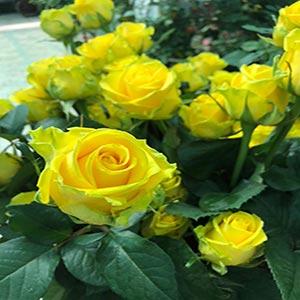 پخش گل رز در تهران