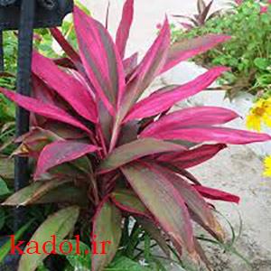 تکثیر گیاه کوردیلین از طریق بذر