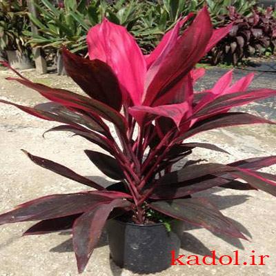 خاک مناسب برای گیاه کوردیلین