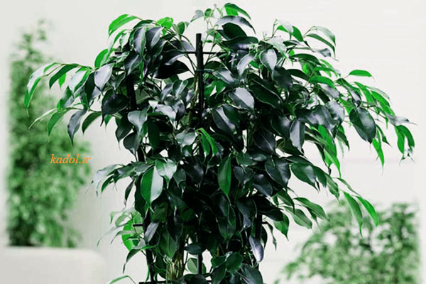 گیاه بنجامین سیاه برگ