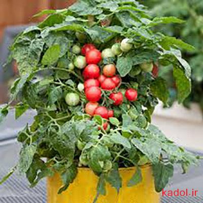 خاک مناسب برای گوجه گیلاسی