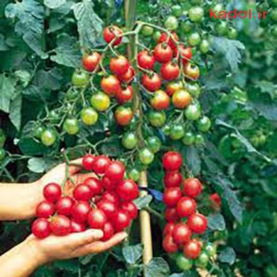 انتخاب نوع گوجه گیلاسی
